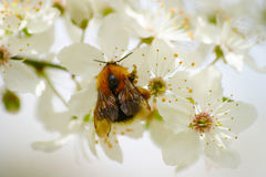 Bumblebee And Spring Blossom Stock Image