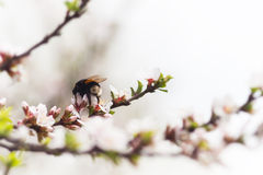Bumblebee on the spring flower cherry Royalty Free Stock Photos