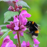 Bumblebee on spring flowers Royalty Free Stock Photos