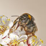 BumbleBee in the spring garden taking a honey dew from the apple tree. Macro image stock photos