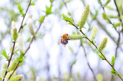 Bumblebee. Springtime. Wallpaper Stock Photography