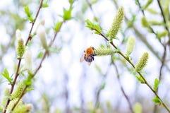 Bumblebee. Springtime. Wallpaper Stock Photography