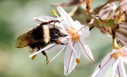 Bumblebee licking pollen on a flower. A bumblebee stands on a flower to pick pollen in a forest in the Spanish balearic island of Mallorca royalty free stock photo