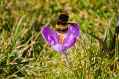 Bumblebee starting from a crocus in spring royalty free stock photo