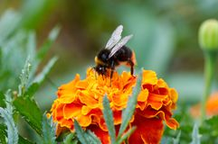 Bumblebee on flower collecting nectar. Shaggy bumblebee on yellow diasy royalty free stock photo