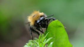 Bumblebee struga podbrzusze na zielonej roślinie makro-, zwolnione tempo zdjęcie wideo