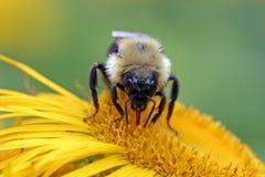 Bumblebee sucking nectar. A bumblebee sucks some nectar from a flower Stock Photo