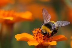 Bumblebee sucking pollen from flowers Royalty Free Stock Photos