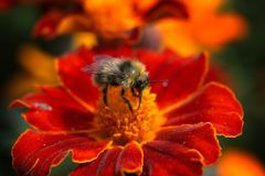 Bumblebee sucking pollen from flowers Royalty Free Stock Photo