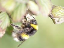 Bumblebee sucking pollen Royalty Free Stock Photos