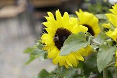 Bumblebee sucking pollen Stock Image
