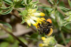 Bumblebee sucking of a yellow blossom Royalty Free Stock Photos