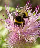 Bumblebee on a summer flower Stock Images