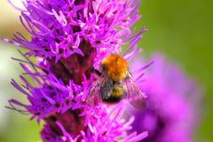 Bumblebee. Summer flower. Royalty Free Stock Photos