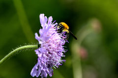 Bumblebee. Summer flower. Royalty Free Stock Images