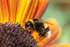 Bumblebee on sunflower. Bumblebee sitting on red sunflower Royalty Free Stock Photo