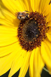 Bumblebee on a sunflower. Stock Image