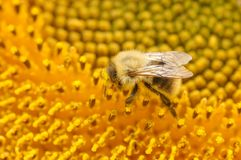 Bumblebee on a sunflower. In summer time Stock Photography