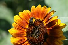 Bumblebee and Sunflower Stock Photo