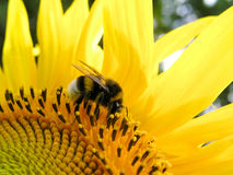 Bumblebee and sunflower. Bumblebee is collecting nectar royalty free stock photos