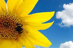 Bumblebee on a sunflower Stock Images
