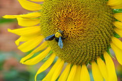 Bumblebee and sunflower Stock Photos