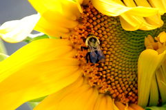 Bumblebee on Sunflower Royalty Free Stock Image