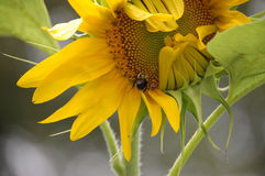 Bumblebee on Sunflower. Bumblebee sipping nectar from a sunflower Stock Photo