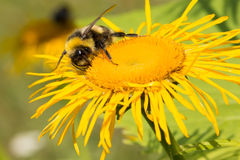Bumblebee on the sunflower Stock Photography