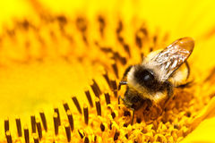 Bumblebee on sunflower Stock Photo
