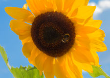 Bumblebee on sunflower against serene blue sky Royalty Free Stock Photography