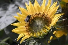Bumblebee on sunflower Stock Photo