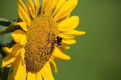 Bumblebee 2 Stock Images