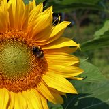 Bumblebee on sunflower Stock Image
