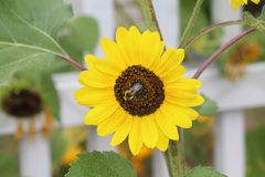 Bumblebee sunflower Royalty Free Stock Image