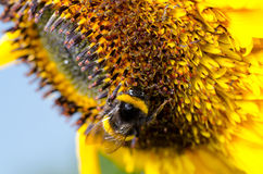 Bumblebee on a Sunflower, Close-up Royalty Free Stock Photo
