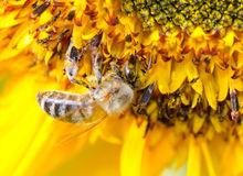 Bumblebee on a Sunflower, Close-up Stock Photos