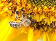 Bumblebee on a Sunflower, Close-up Stock Photos