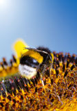 Bumblebee on a Sunflower, Close-up Stock Images