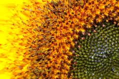 Bumblebee on a Sunflower, Close-up Royalty Free Stock Photography