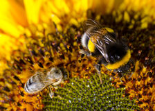 Bumblebee on a Sunflower, Close-up Stock Image