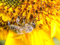 Bumblebee on a Sunflower, Close-up Royalty Free Stock Photos