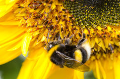Bumblebee on a Sunflower, Close-up Royalty Free Stock Images