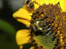 Bumblebee on sunflower Royalty Free Stock Images
