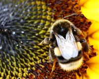 Bumblebee on a sunflower in closeup Royalty Free Stock Photo