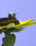Bumblebee on sunflower Royalty Free Stock Photography