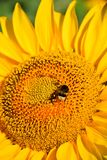 Bumblebee and sunflower Stock Image