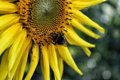 Bumblebee on a sunflower Stock Image