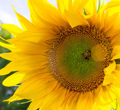 Bumblebee on the sunflower. nature, wildlife. Royalty Free Stock Photography