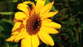 Bumblebee on Sunflower stock video footage